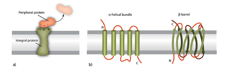 Different types of membrane proteins. a) Membrane proteins can be divided into peripherial and integral. b) Integral membrane proteins can be divided into a-helical bundle and b -barrel types.